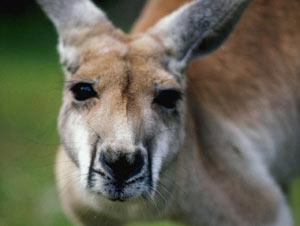 У кенгуру мощные задние ноги, массивный хвост, узкие плечи, маленькие, похожие на человеческие...